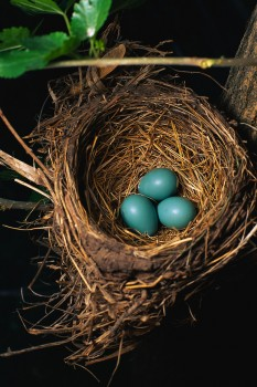 blue eggs in a nest