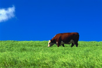 Cow eating grass blue sky